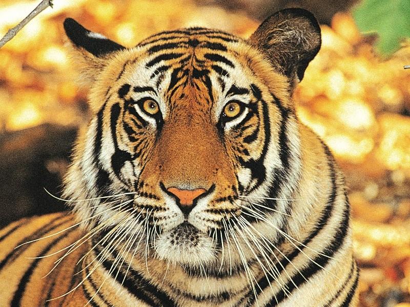 Tiger, Ranthambhore Nationalpark