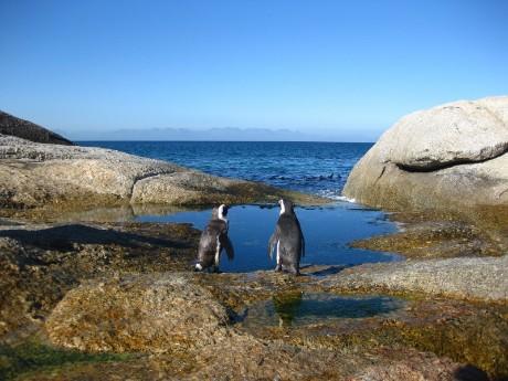 Pinguine auf der Kap-Halbinsel