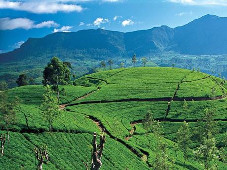 Teeplantagen im Hochland von Sri Lanka