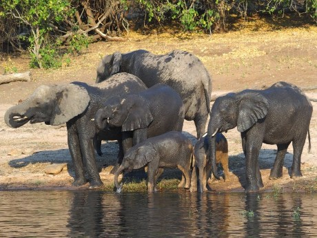 Badende Elefanten Chobe