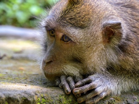 Makake auf Bali